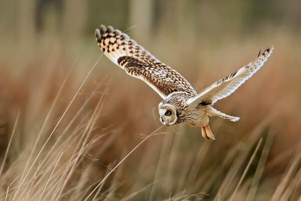 В чём разница между совой и филином в полёте