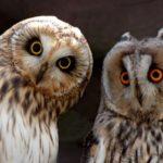Филин и сова: в чём разница