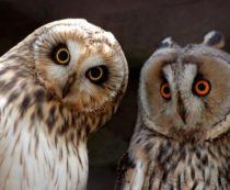 Филин и сова - в чём разница