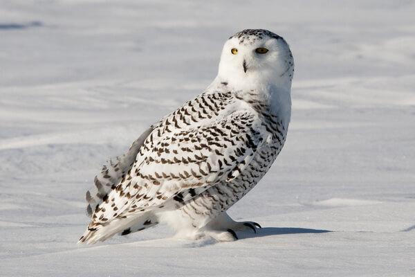 Виды сов с белой мордочкой - Белая или полярная сова