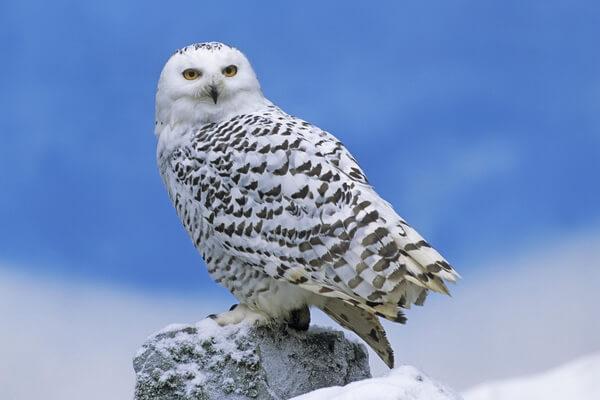 Совы с белой мордочкой - Полярная сова