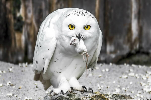 Белая или полярная сова - наиболее известная сова с белой мордочкой