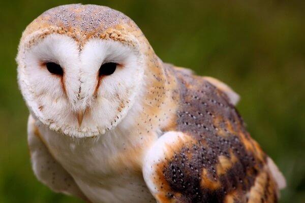 Виды сов с белой мордочкой - Обыкновенная сипуха
