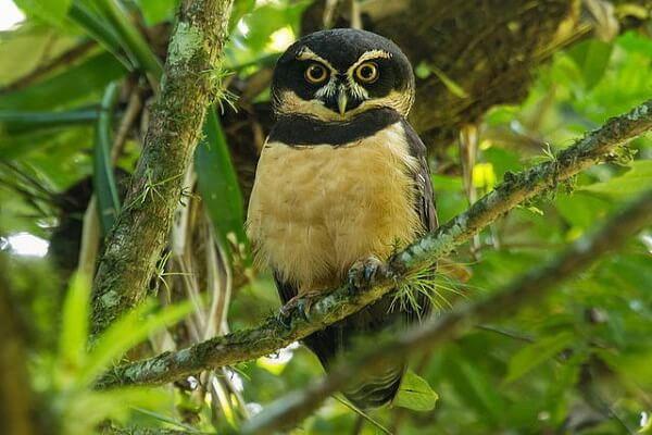 Как кричит неотропическая сова