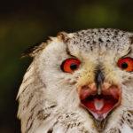 Как кричит сова