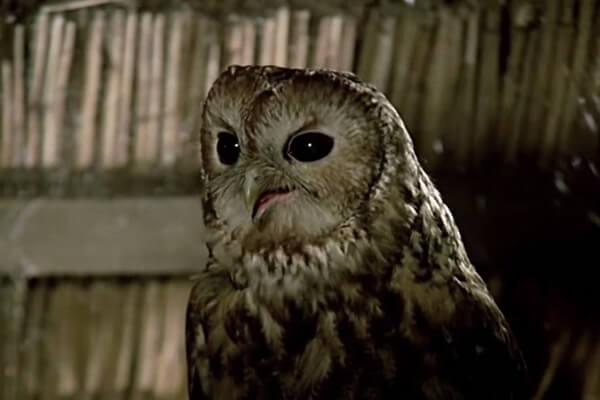 Как назвать сову - варианты имён из кино