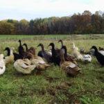 Породы домашних уток: пять лучших разновидностей мясного направления