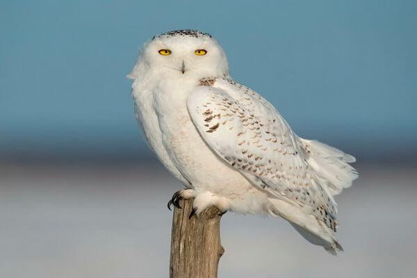 К чему снится белая сова - значение по соннику Фрейда