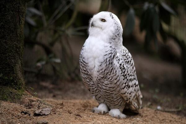 К чему снится белая сова - значение по разным сонникам
