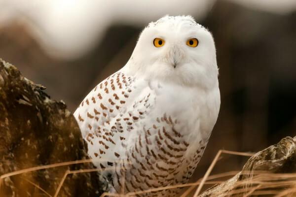 К чему снится белая сова - трактовка сновидения по разным сонникам