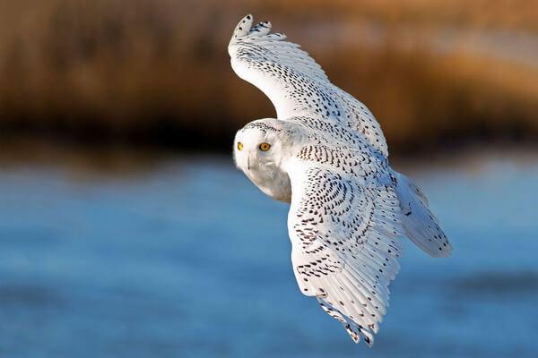 К чему снится белая сова в полёте - основные значения