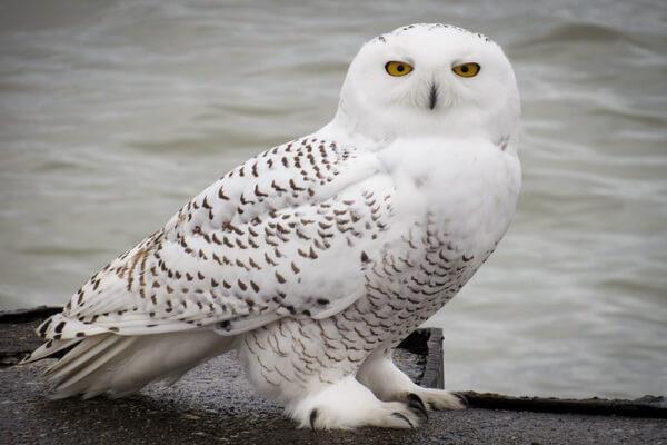 К чему снится белая сова - основные значения сновидения