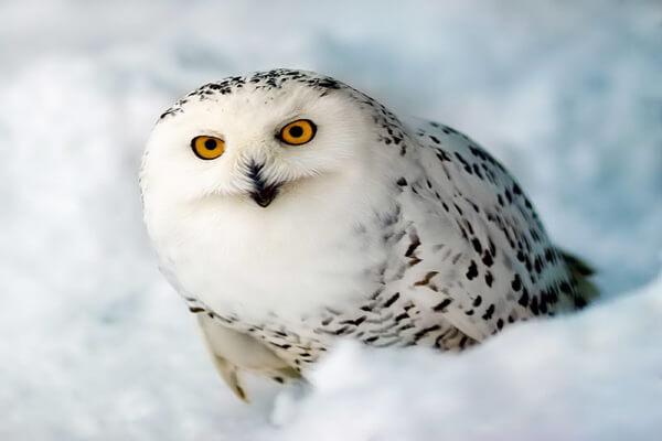 К чему снится белая сова на снегу
