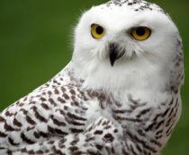 К чему снится белая сова - основные значения