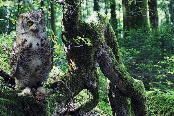 Услышать крик совы - примета и её значение