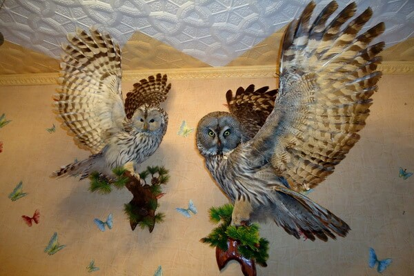 Чучело совы в доме - приметы и их значение