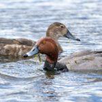 Красноголовый нырок: места обитания, образ жизни, размножение
