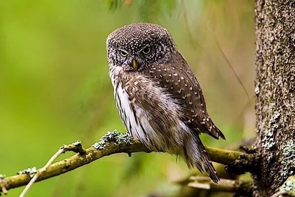 Чем отличается сыч от совы и филина - внешние отличия