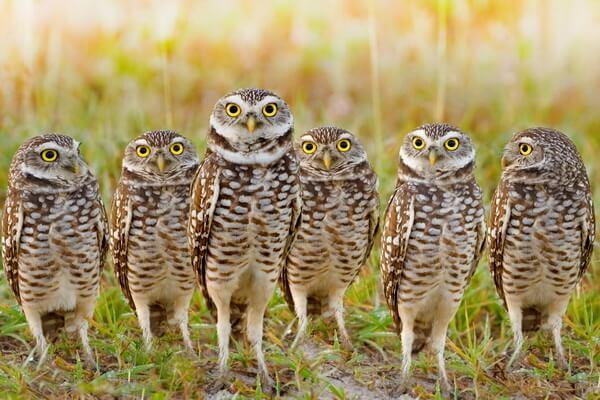 Чем отличается сыч от совы - отличия по образу жизни и поведению