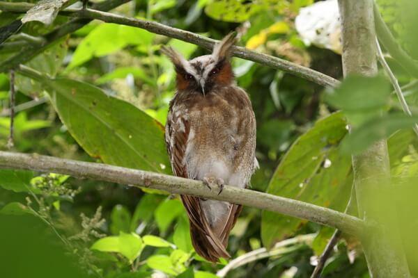 Редкие совы - Рогатая неясыть