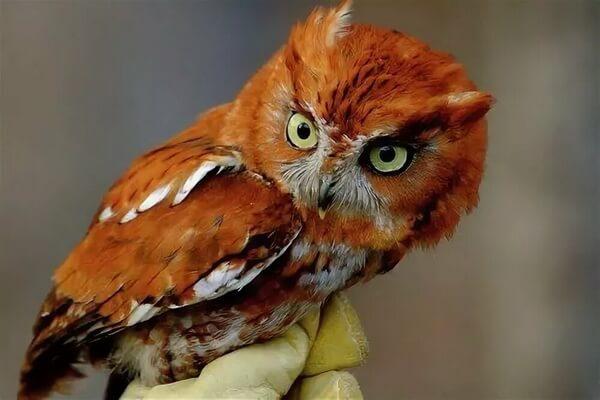 Редкие совы - Рыжая рыбная сова