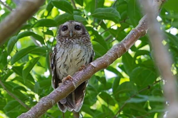 Редкие совы - Кубинская совка