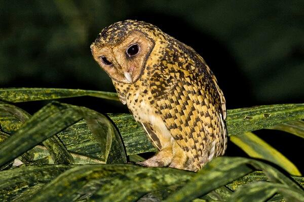 Редкие совы - Золотистая сипуха