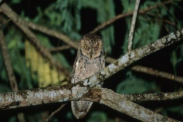 Редкие совы - Сейшельская совка