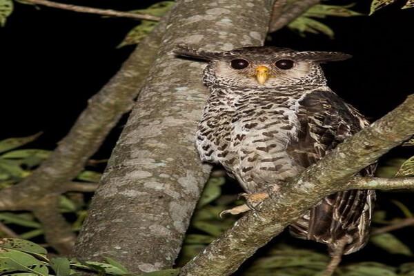 Редкие совы - Непальский филин