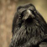 Сколько живут вороны