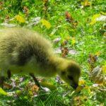 Чем кормить гусят: основные правила для начинающих птицеводов