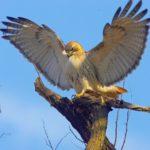 Хищные птицы: ястреб