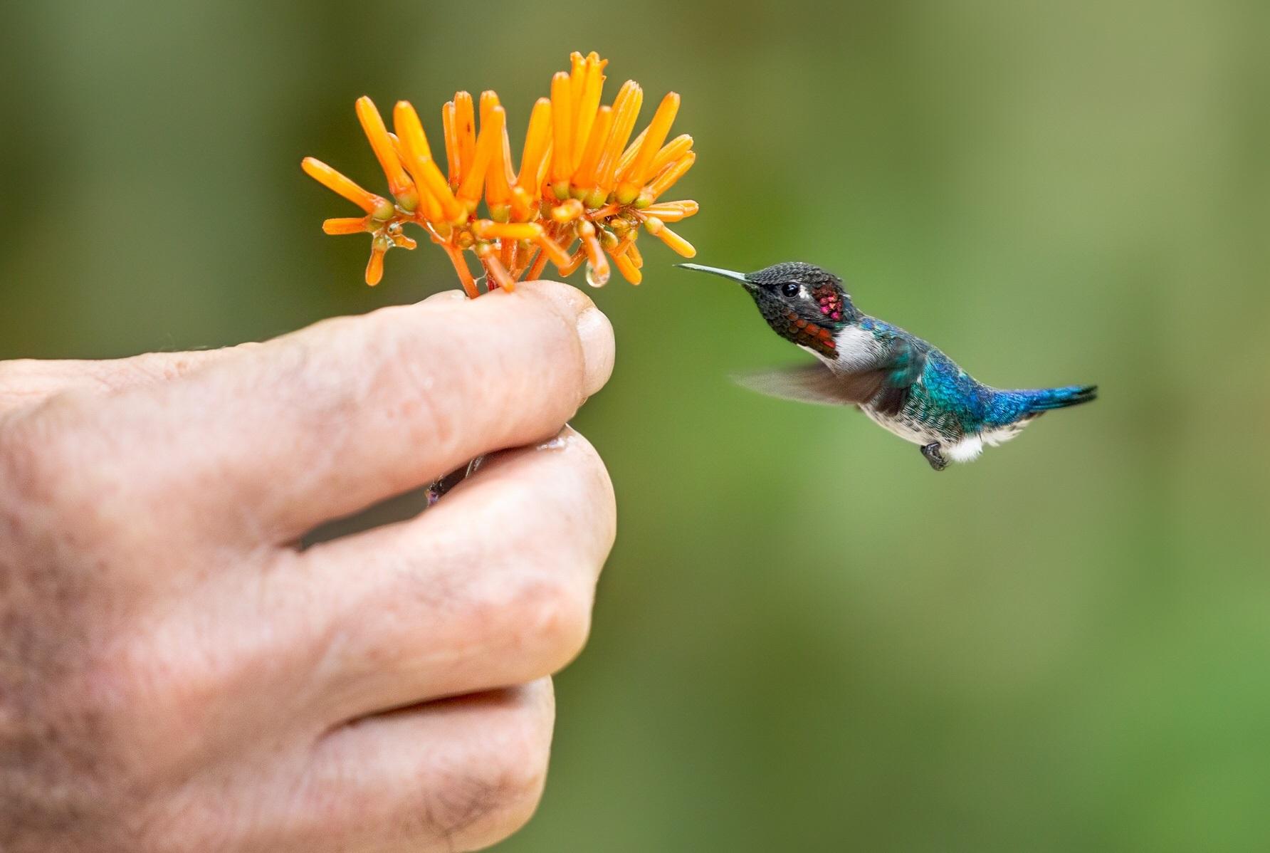пчелиный колибри картинки вам