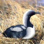 Гагара. Птица удивительная и многообразная