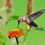 Колибри-пчёлка