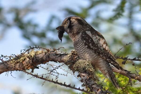 Чем питаются ястребиные совы в природе