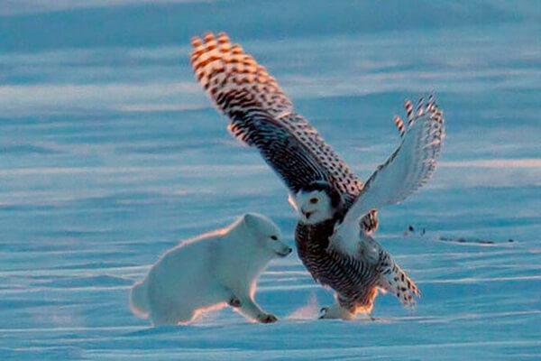 Чем питаются белые (полярные) совы в природе