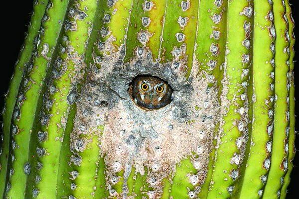 Самая маленькая сова - сыч-эльф или кактусовый сыч