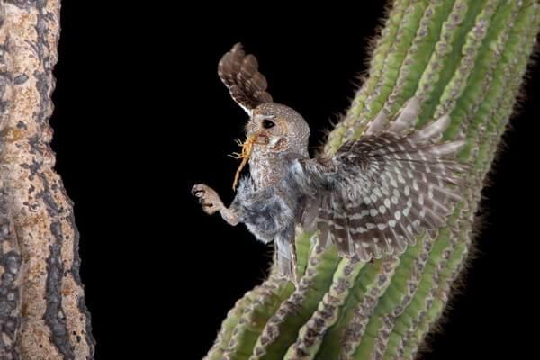 Кактусовый сыч (сыч-эльф) - самая маленькая сова в мире