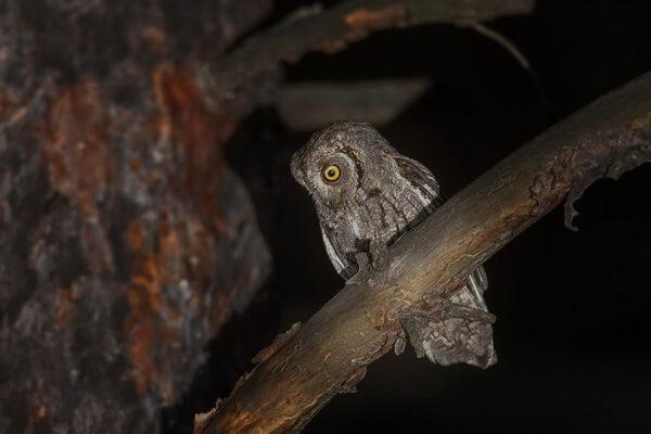 Самые маленькие совы с фото и описанием - Сплюшка