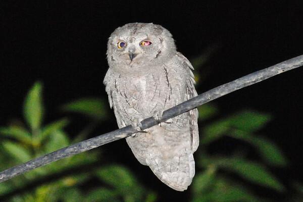 Самые маленькие совы с фото и описанием - Буланая совка