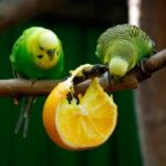 Какие фрукты едят попугаи