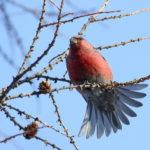 """Птица щур - малиновый """"попугай"""" северных широт"""