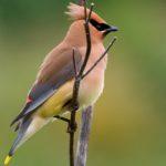 Свиристель. Птица, обладающая удивительной манерой пения