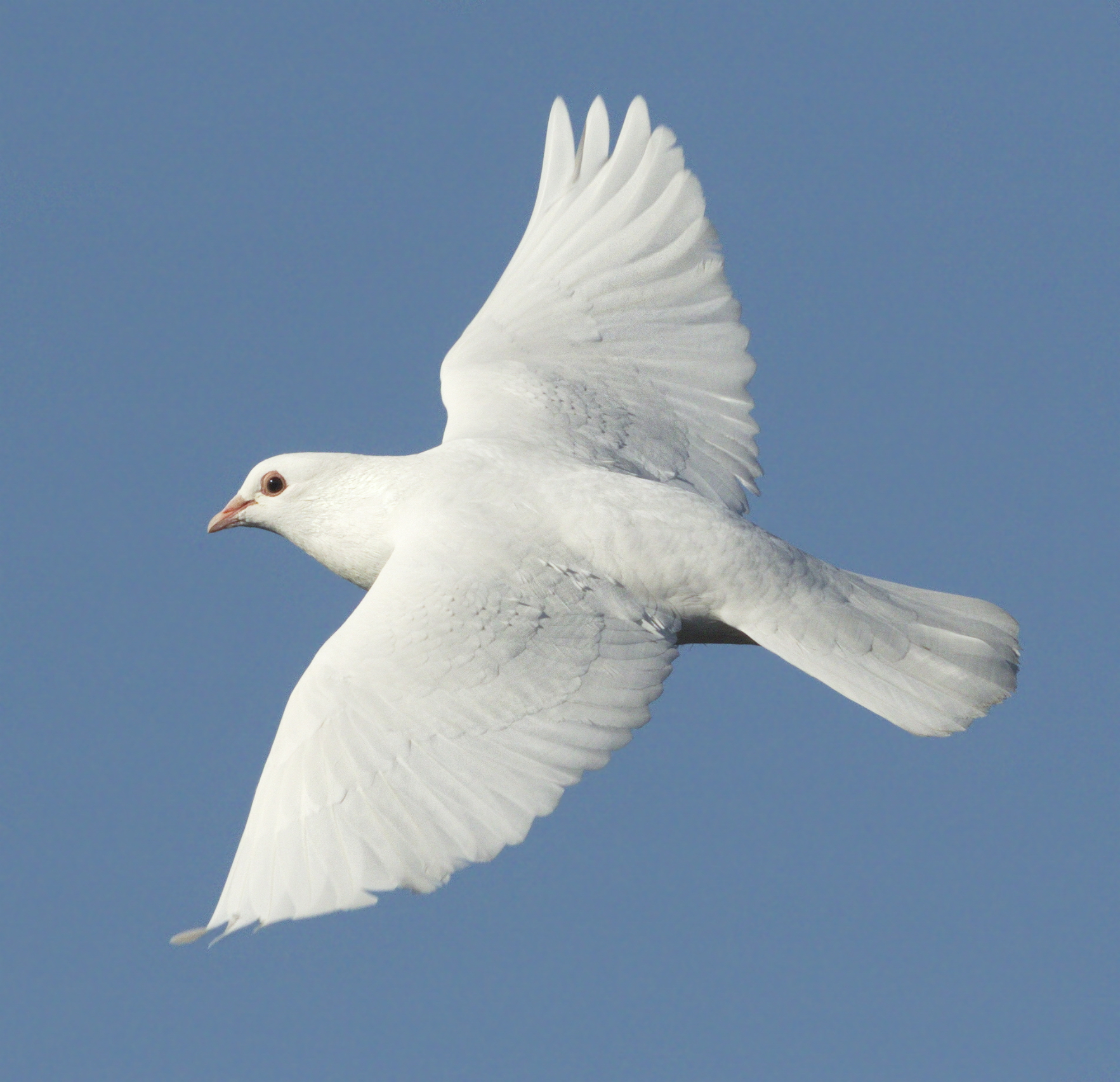 Фото летящего голубя