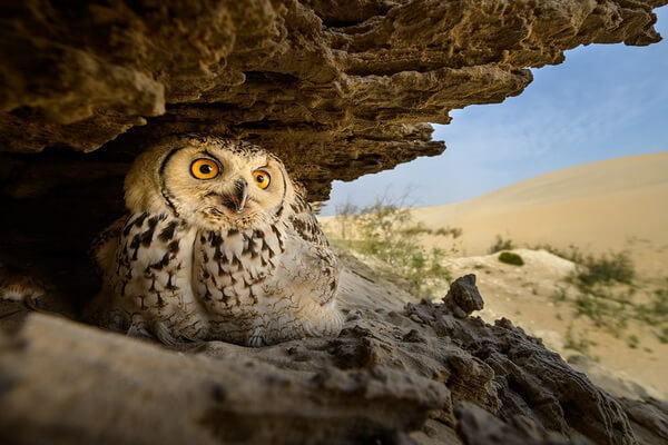 Гнездо филина