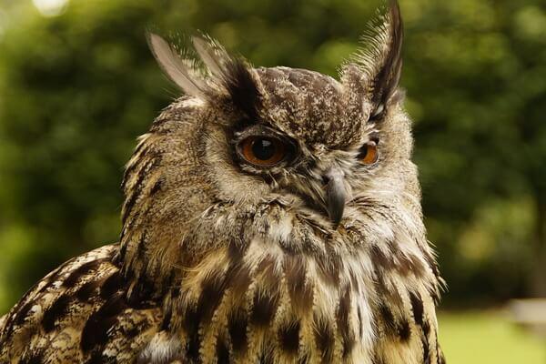 Как определить сову по виду