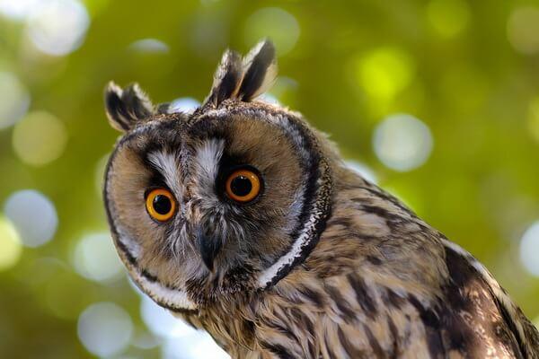 Как определить сову по внешнему виду