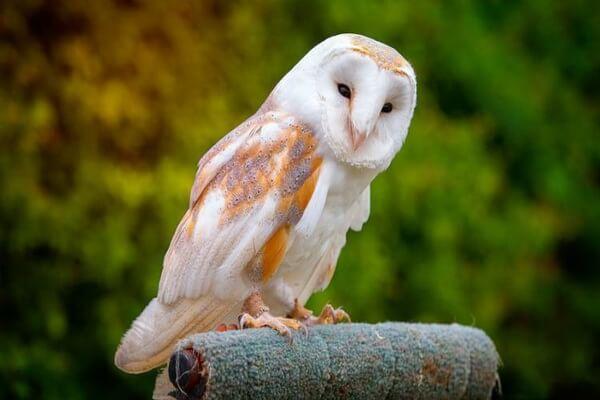 Как определить сову сипуху