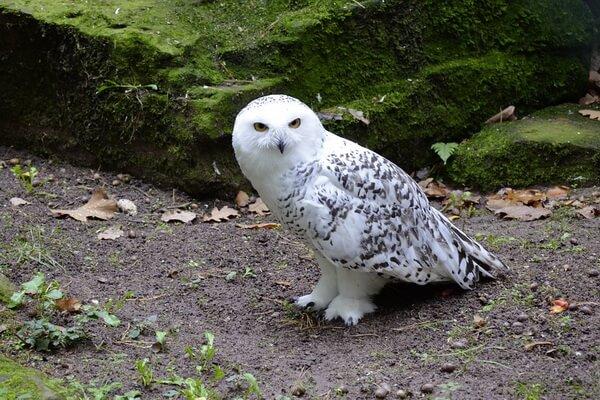 Как узнать полярную сову - основные признаки